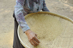 Farmer sourcing the paddy rice Royalty Free Stock Photo