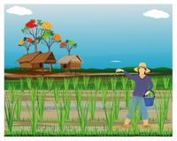 Farmer sow manure in paddy field. Vector design stock illustration
