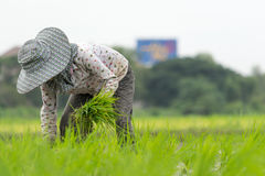 Farmer sow rice on paddy field royalty free stock photos