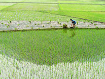 Farmer is sowing seedling. Spring has come, is the farming season, Rows of rice on a wet rice field.A farmer is a vast paddy field seedling Royalty Free Stock Photo