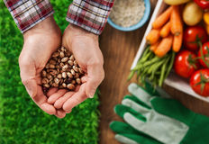 Farmer sowing seeds. Farmer holding legumes in his hands with green grass and freshly harvested vegetables on background Royalty Free Stock Photos