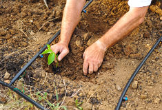 Farmer sowing tomatoes in the orchard, Andalusia, Spain Royalty Free Stock Photography
