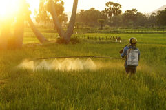 Farmer spray chemicals  on rice field at sunset Stock Photo