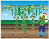 Farmer spray cucumber plant. Vector design Stock Photo