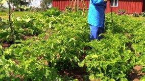 Farmer spray fertilizer on potato for better growth stock footage