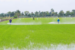 Farmer spray the fertilizer in rice field Royalty Free Stock Photography