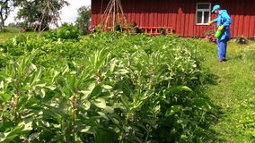Farmer spray pesticide on bean plants near rural house stock video