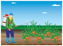 Farmer spray tomato plant. Vector design Stock Image