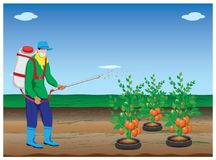 Farmer spray tomato plant. Vector design Stock Photo