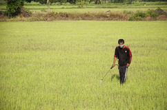 Farmer spraying chemical for herbicide in paddy or rice field Royalty Free Stock Photography