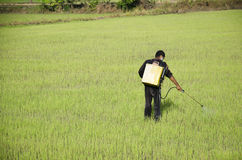 Farmer spraying chemical for herbicide in paddy or rice field Stock Photo