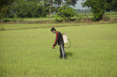 Farmer spraying chemical for herbicide in paddy or rice field Royalty Free Stock Image