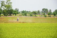 Farmer spraying herbicide on Paddy and rice field Royalty Free Stock Photography