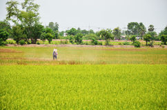 Farmer spraying herbicide on Paddy and rice field. Background in ayutthaya thailand Royalty Free Stock Photos