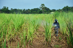 Farmer spraying herbicide on Sugarcane Field. A farmer (also called an agriculturer) is a person engaged in agriculture, raising living organisms for food or raw Royalty Free Stock Photography