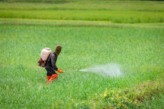 Farmer spraying insecticides. In rice farm royalty free stock photos