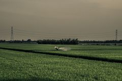 A farmer is spraying insecticides, in rice fields in evening agriculture process in Thailand.  royalty free stock images