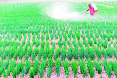 Farmer spraying pesticide on onion field Royalty Free Stock Image