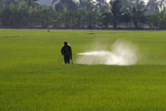 Farmer spraying pesticide in paddy field Royalty Free Stock Images