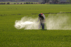 Farmer spraying pesticide in paddy field. Thailand royalty free stock photography