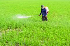Farmer spraying pesticide. On rice field royalty free stock images