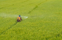 Farmer spraying pesticide in the rice field Royalty Free Stock Images