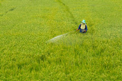 Farmer spraying pesticide in the rice field Royalty Free Stock Photography