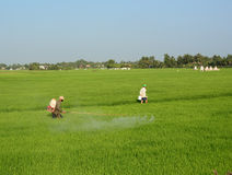 Farmer spraying pesticide on rice field Royalty Free Stock Photo