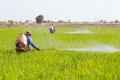 Farmer spraying pesticide in the rice field. Protect Pests royalty free stock photography