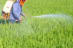 Farmer spraying pesticide in the rice field. Protect Pests stock image