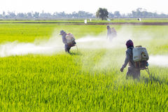 Farmer spraying pesticide in the rice field Stock Photography