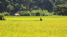 Farmer sprays pesticide on ripe rice field Royalty Free Stock Photos
