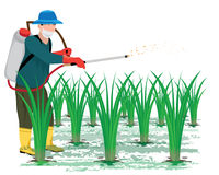 Farmer sprays rice plant. Vector design Stock Photography
