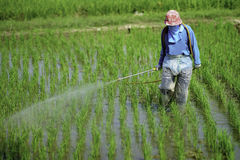Farmer. He sprays to prevent his rice from pest royalty free stock photography