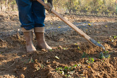 Farmer spud bed of strawberries. In boots stock photos