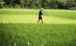 Farmer with spud in the rice field Stock Images