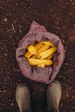 Farmer standing directly above harvested corn cobs in burlap sac. K, top view of feet in rubber boots royalty free stock photos