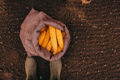 Farmer standing directly above harvested corn cobs in burlap sac. K, top view of feet in rubber boots stock image