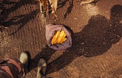 Farmer standing directly above harvested corn cobs in burlap sac. K, top view of feet in rubber boots royalty free stock images