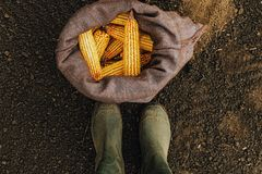 Farmer standing directly above harvested corn cobs in burlap sack. Top view of feet in rubber boots royalty free stock photos