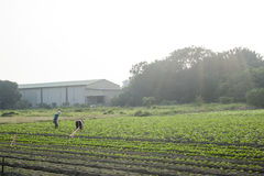 The farmer standing in farm Royalty Free Stock Photos