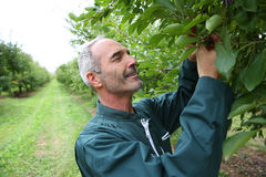 Farmer standing in middle of plums trees Royalty Free Stock Images