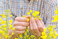 Farmer Standing in Oilseed Rapeseed Cultivated Agricultural Fiel Stock Photography