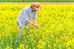 Farmer Standing in Oilseed Rapeseed Cultivated Agricultural Fiel Royalty Free Stock Images