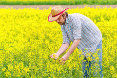 Farmer Standing in Oilseed Rapeseed Cultivated Agricultural Field Royalty Free Stock Photo