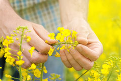 Farmer Standing in Oilseed Rapseed Cultivated Agricultural Field Stock Images