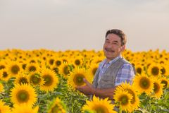 Farmer standing in a sunflower field Royalty Free Stock Image