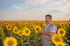 Farmer standing in a sunflower field Royalty Free Stock Photos