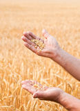 Farmer standing in a wheat field Stock Photo