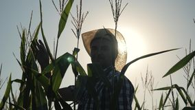 The farmer stands in the field of corn and checks the harvest. The concept of agricultural business. Farm stock footage